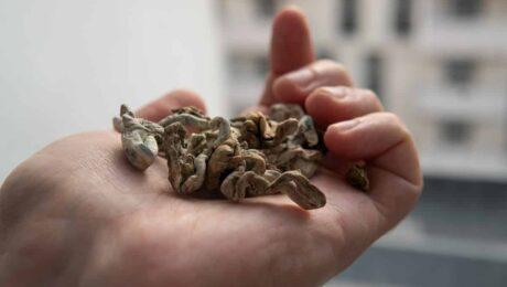 Cogumelos mágicos podem ser eficientes no tratamento de TOC