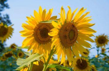 benefícios do óleo ozonizado de girassol